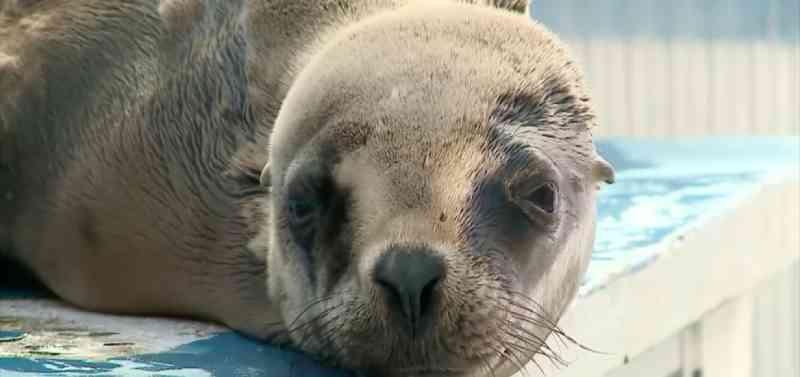 Tartaruga e leão-marinho resgatados são devolvidos ao mar em Rio Grande do Sul