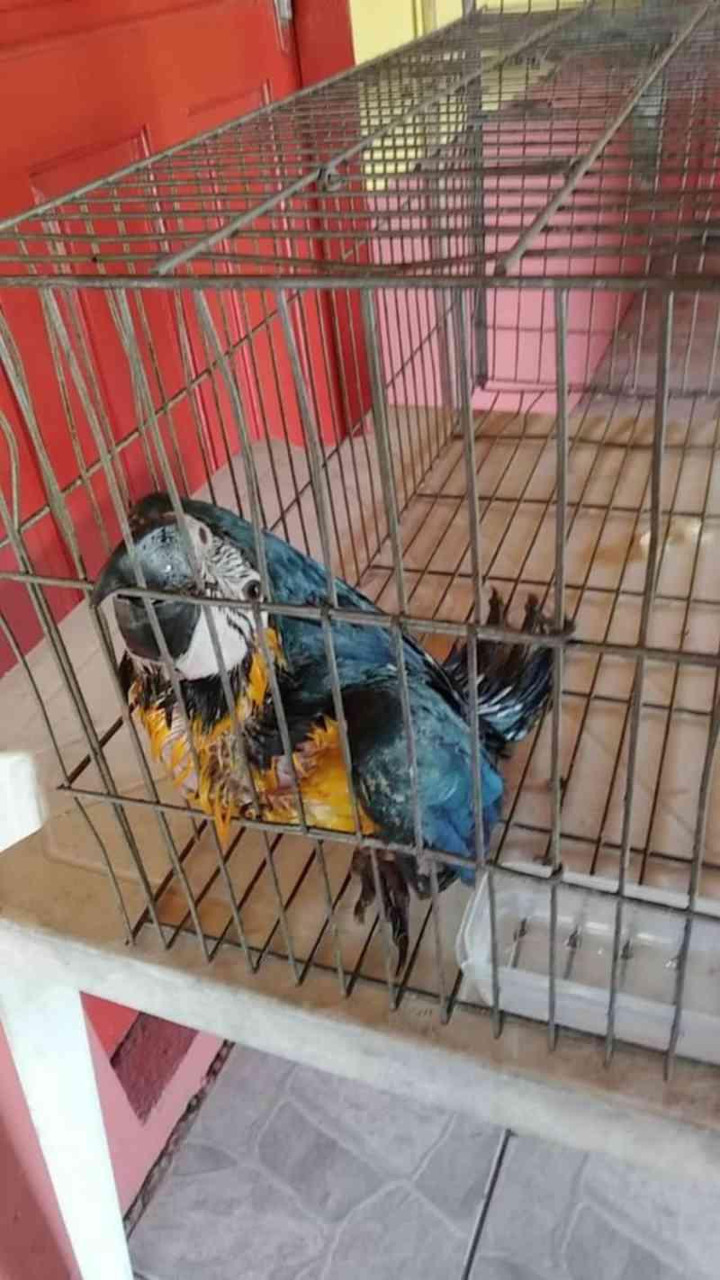 Vídeo: arara-canindé é resgatada com muitos ferimentos, em Barra Velha, SC