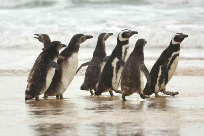 Novo grupo de pinguins é solto em praia de Florianópolis; são 50 animais recuperados no ano