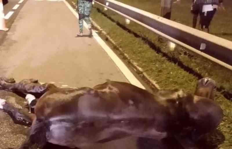 Égua grávida morre após ser atropelada por carro na BR-116, em Mafra, SC