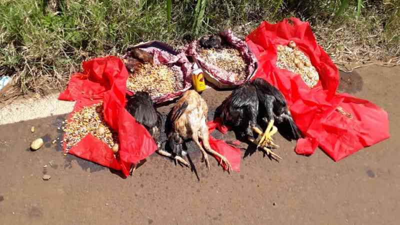 Novamente animais são sacrificados para rituais no interior de Xanxerê, SC