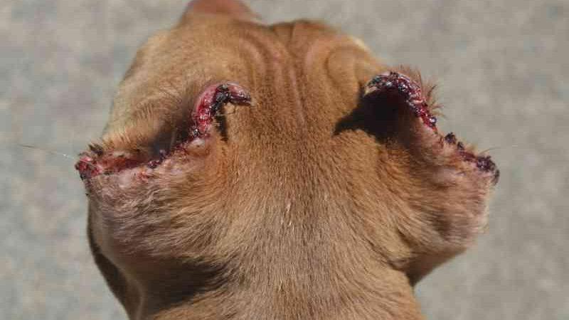 Polícia investiga criadores de cães e clínicas por mutilação de animais em Bauru, SP