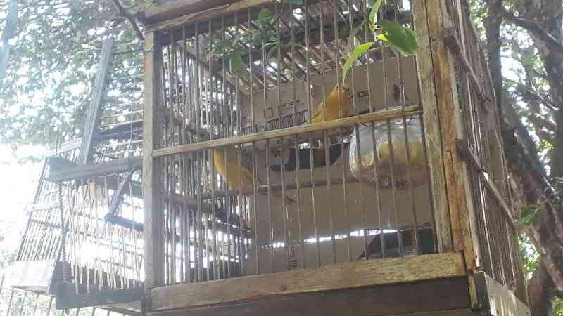 Polícia Ambiental apreende pássaros silvestres em casa de Bauru, SP