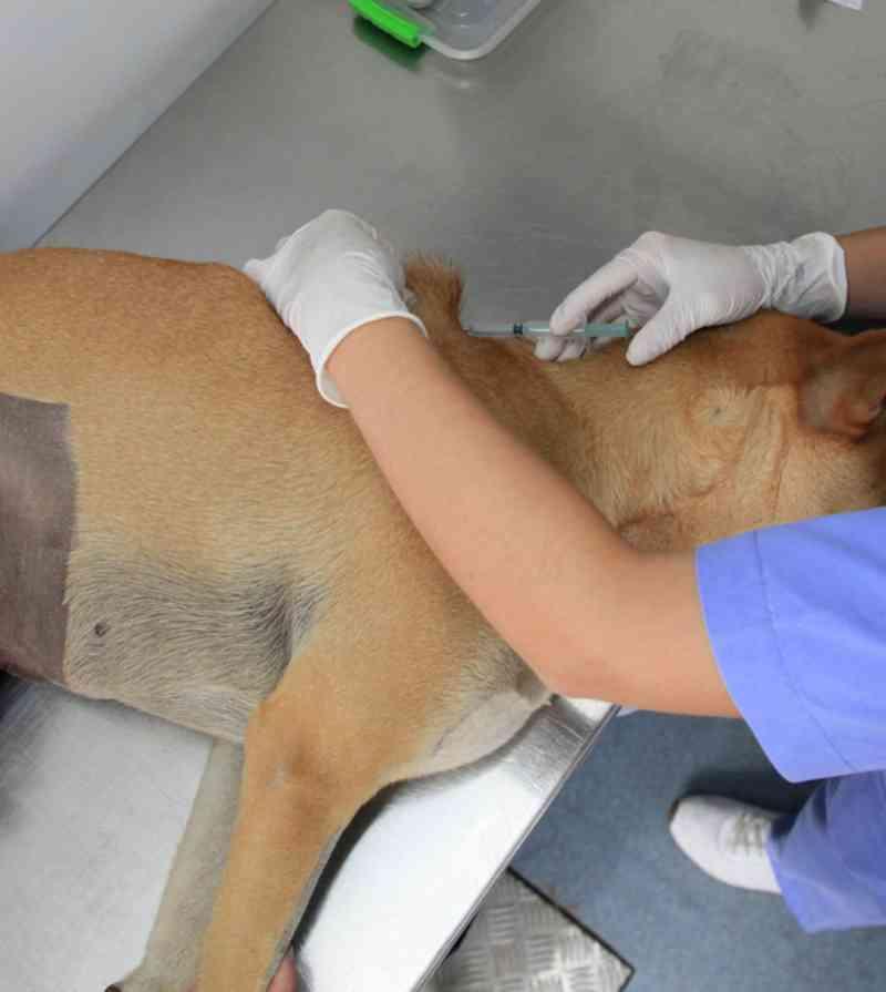 PUC-Campinas (SP) organiza castração e chipagem