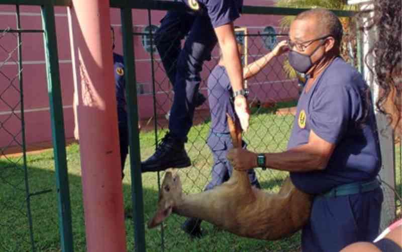 Veado-catingueiro é resgatado com as patas raladas dentro de creche em Guaíra, SP