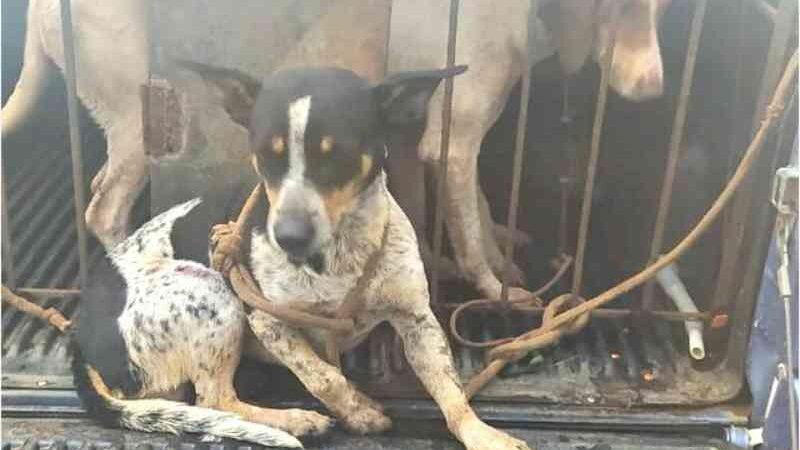 Dupla é presa e multada em R$ 25 mil ao ser flagrada com armas e cães feridos em Itaberá, SP