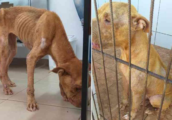 Pit bull resgatada em situação de maus-tratos em Jaú (SP) engorda 10 kg após tratamento; tutor segue preso