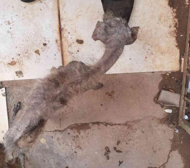 Mulher é presa em flagrante por maus-tratos a 12 cães resgatados desnutridos no interior de SP