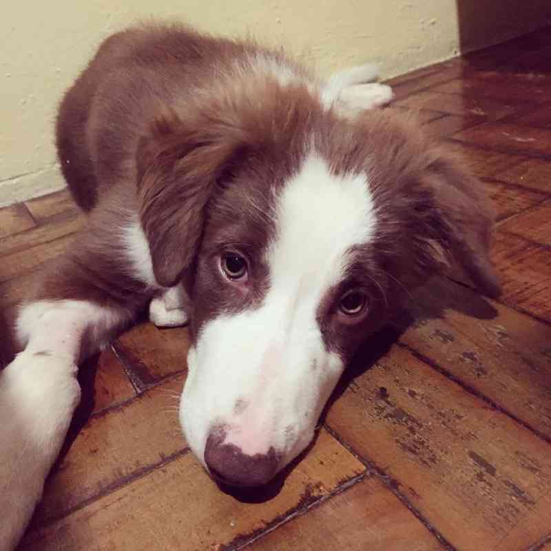 Casal arrecada doações para pagar cirurgia de cão com doença no fígado: 'Única maneira de ter vida estável'