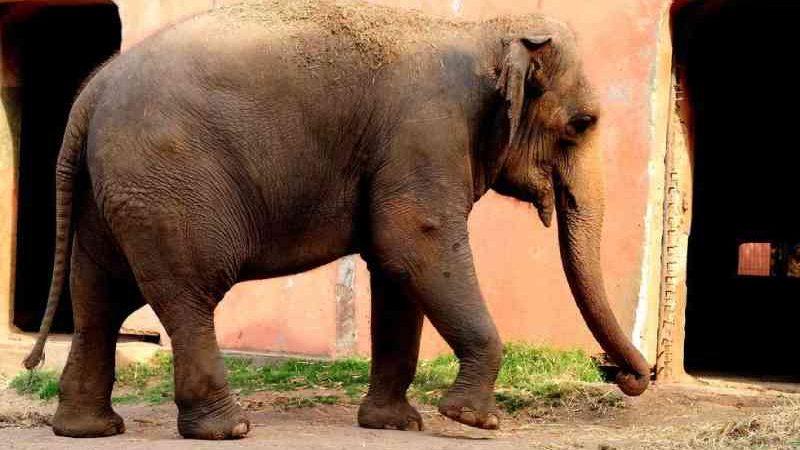 Morre a elefanta Haisa, que vivia no zoológico de Sorocaba (SP) desde 1995