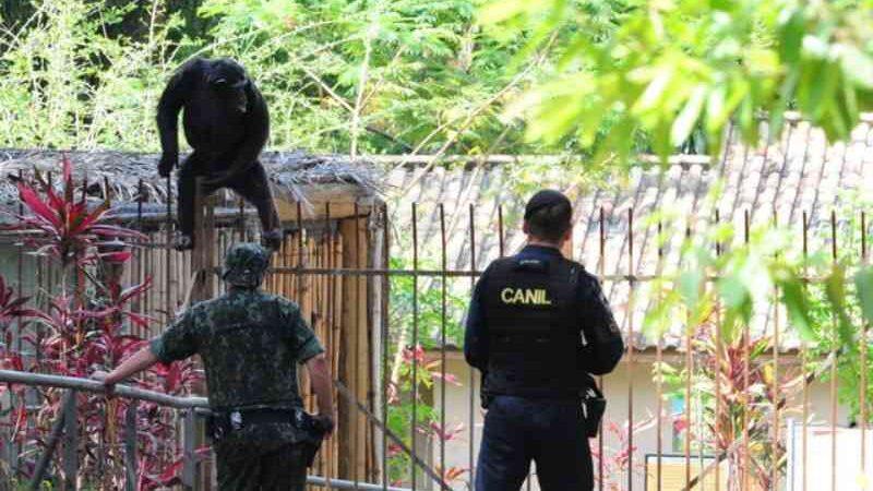 MP investiga fuga de chimpanzé que mobilizou 40 pessoas em zoológico de Sorocaba, SP
