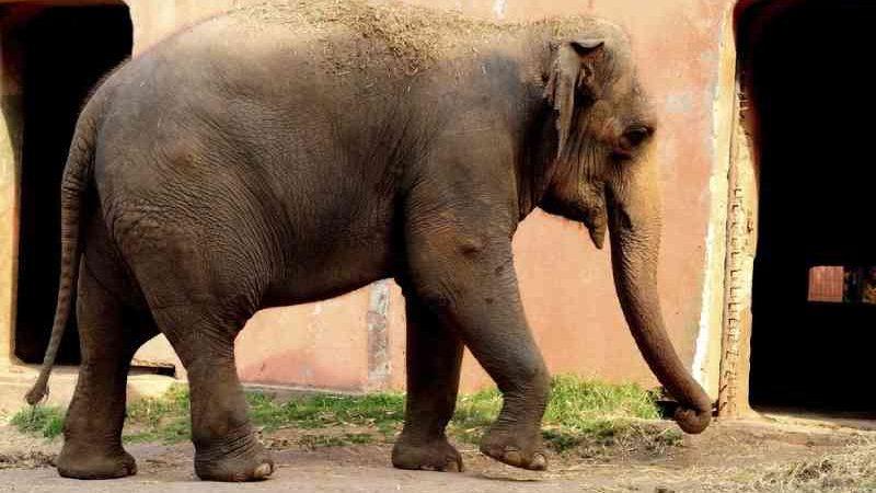 Operação é montada para içar corpo de elefanta Haisa para exames