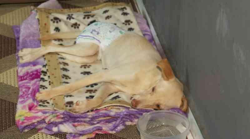 Cadela com paralisia abandonada em SP e adotada por protetora morre de cinomose