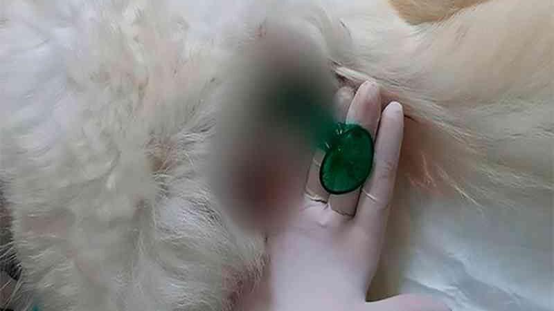 Camisinha encontrada no ânus de cadela causa divergência entre polícia e coordenadora