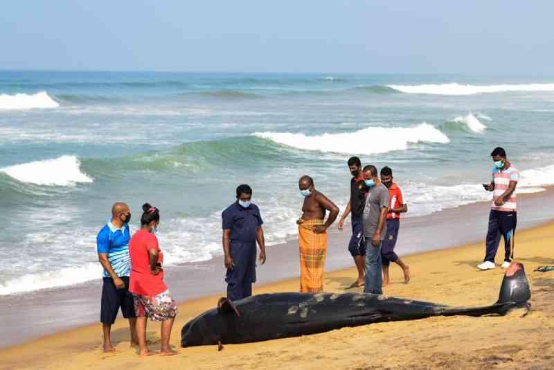 União popular salva mais de 100 baleias encalhadas e evita tragédia histórica