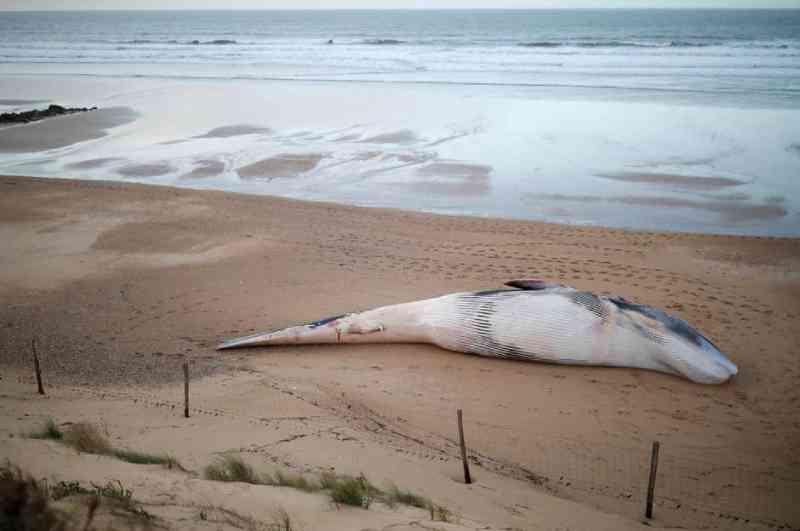Baleias aparecem mortas sem causa aparente na costa francesa