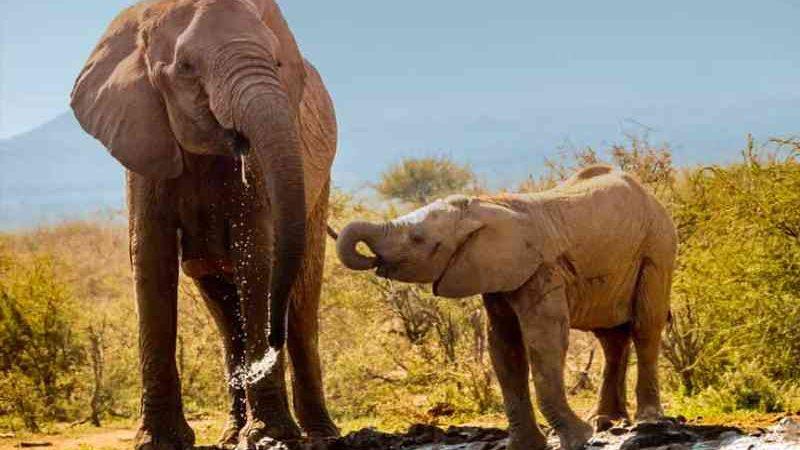 Em dias quentes, elefantes podem perder até 500 litros de água