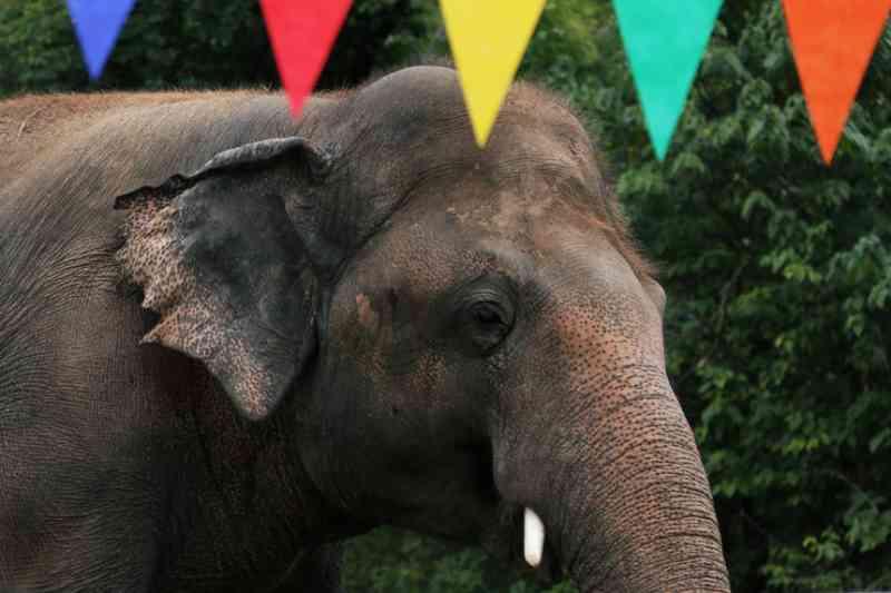 'Elefante mais solitário do mundo' transferido de um zoo para uma reserva no Camboja