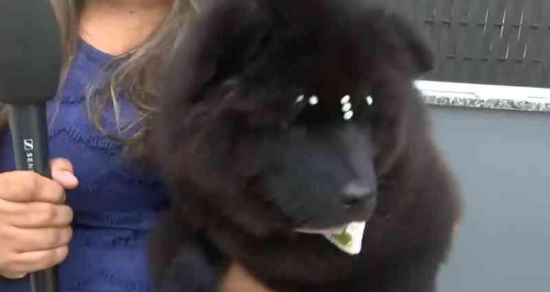 Dois meses após resgate, filhotes de cães 'de raça' apreendidos em ônibus na BA passam bem e estão em lares temporários