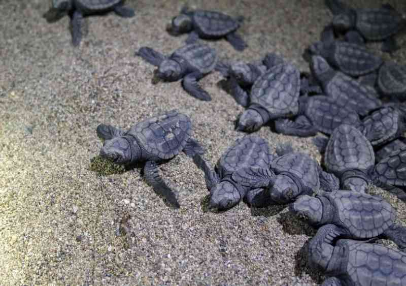 Enchente de tartarugas numa praia do Brasil
