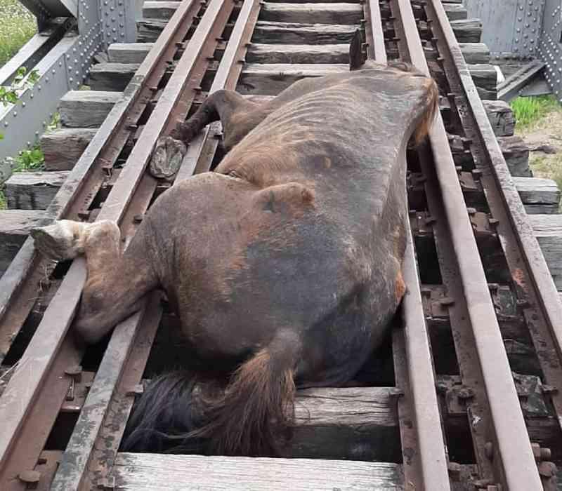 Bombeiros resgatam cavalo preso em linha férrea em Iguatu, no Ceará