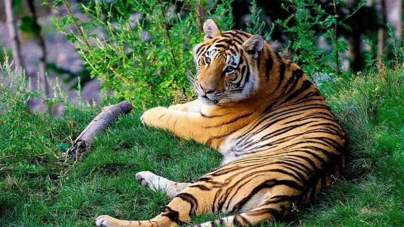 Na China, abrigo é acusado de sacrifício ilegal de tigres
