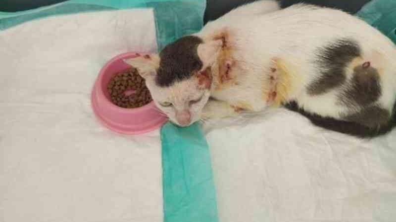 Após fugir, gato ferido com vergalhão é reencontrado e volta ao tratamento