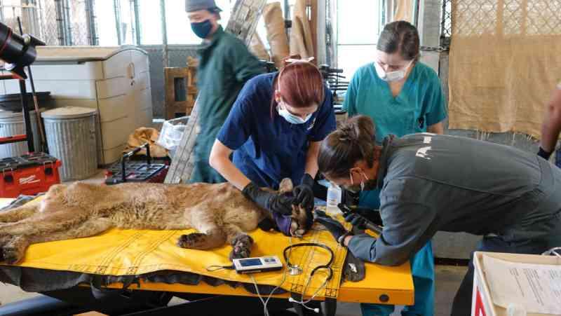 Veterinários ajudam a formar uma rede de voluntários para curar animais selvagens queimados em incêndios florestais na Califórnia