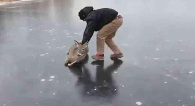 Homem desliza cervo encalhado sobre lago congelado para salvá-lo