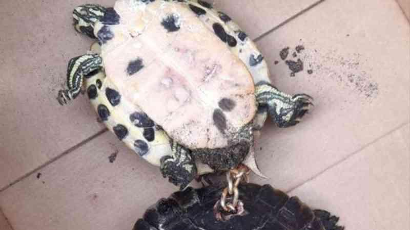 SEPRONA investiga maus-tratos a tartarugas acorrentadas em praia de Tenerife, na Espanha