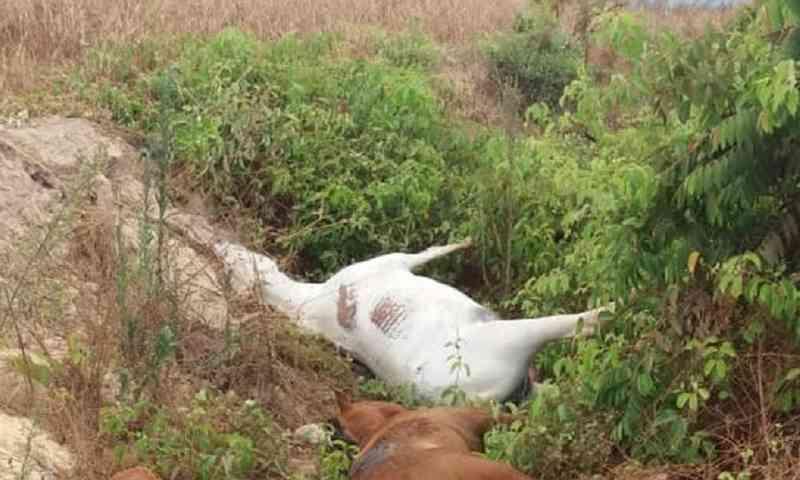 Morte de cavalos: dois são presos suspeitos de disparar contra animais em Itaberaí, GO