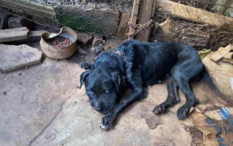 Cadela é resgatada com uma coleira de ferro e com pescoço ferido, em Morrinhos, GO