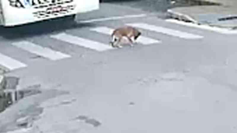 Indignação nas redes sociais: ônibus atropela cachorro no centro de Barbacena, MG