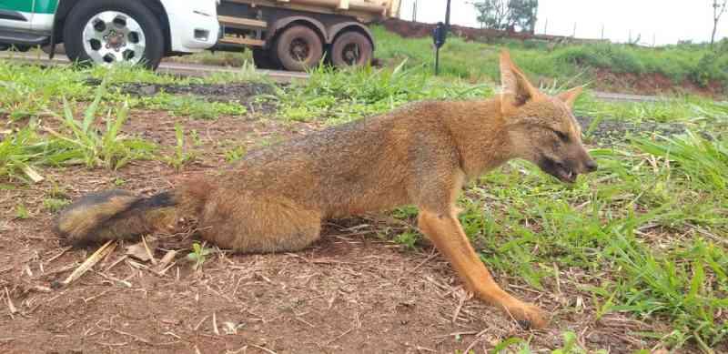 Raposa ferida é resgatada na BR-365 em Ituiutaba, MG