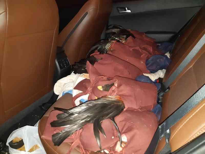 Três são presos por rinha de galos após polícia encontrar animais machucados em Muzambinho, MG