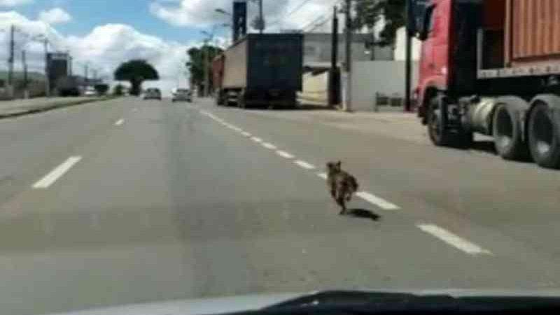 Cadela abandonada em Varginha (MG) corre atrás de carro; veja vídeo