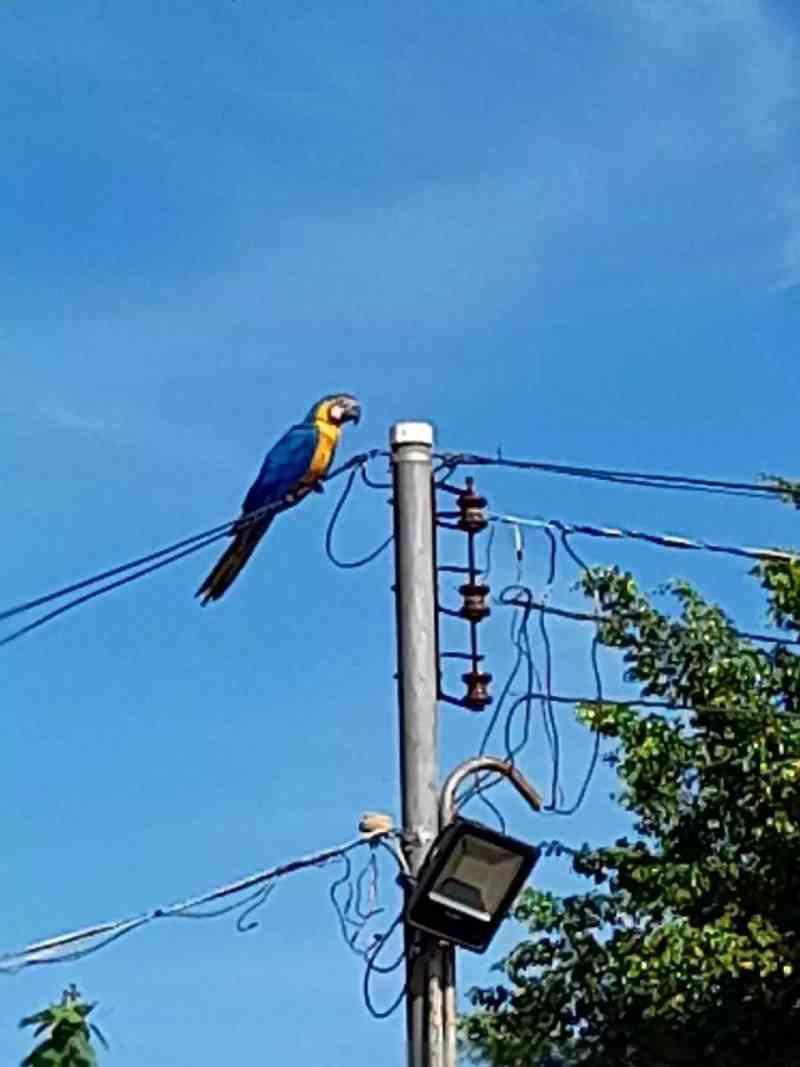 Sem voar o dia todo após atingir muro, arara-canindé preocupa, em Campo Grande, MS