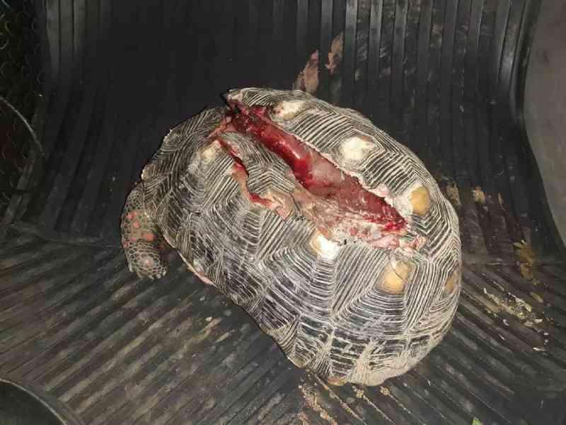 Jabuti com casco ferido, periquito e gambá são resgatados pela PMA de Bonito, MS