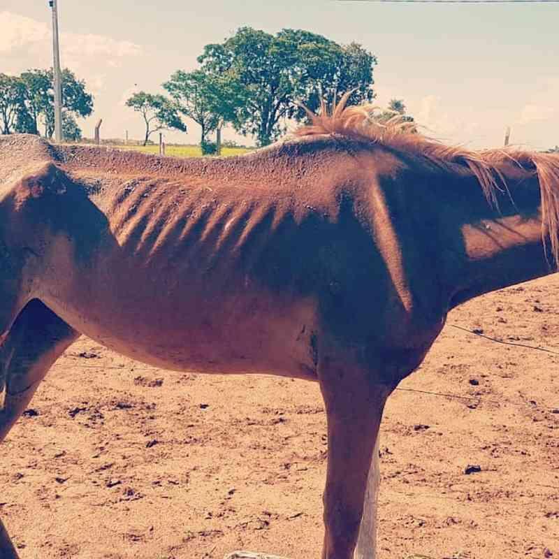 Polícia procura por tutor de égua, que abandonou animal 'há meses' e a deixou doente na chácara de tratador