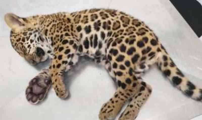 Filhote de onça-pintada é resgatado às margens de rodovia e recebe tratamento em clínica em MT