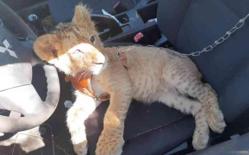 Filhote de leão é resgatado em Zitácuaro, no México