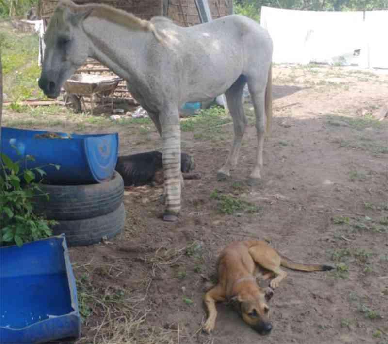 Vídeo: cão com deficiência cuida de cavalo atropelado em Teresina, PI