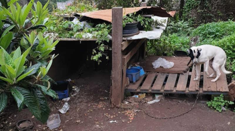 Resgatada cadela que vivia acorrentada, 'dormia na terra e bebia água suja'