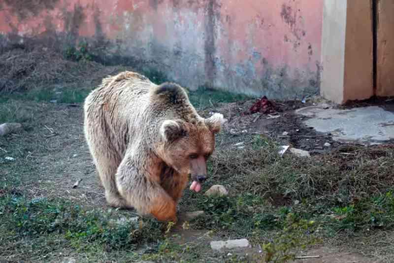 Dois ursos são os últimos animais a deixar 'o pior zoológico do mundo'