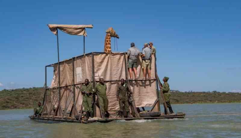 Sedada e com um capuz sobre os olhos, a girafa Asiwa foi resgatada de uma ilha no Quénia