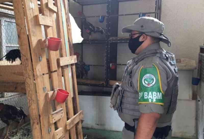 Batalhão Ambiental e Polícia Civil apreendem 20 galos utilizados em rinhas em Passo Fundo, RS