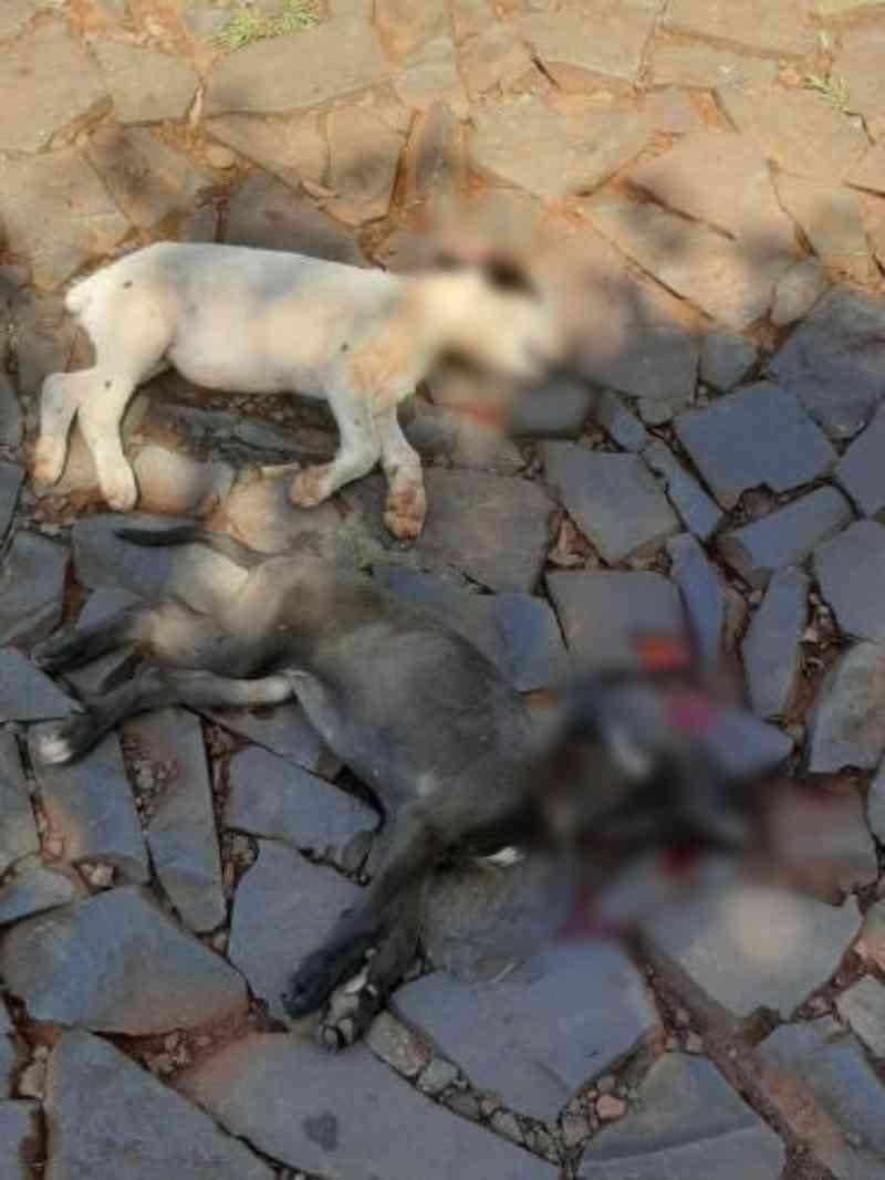 Cachorros morrem atropelados em Santa Rosa, RS