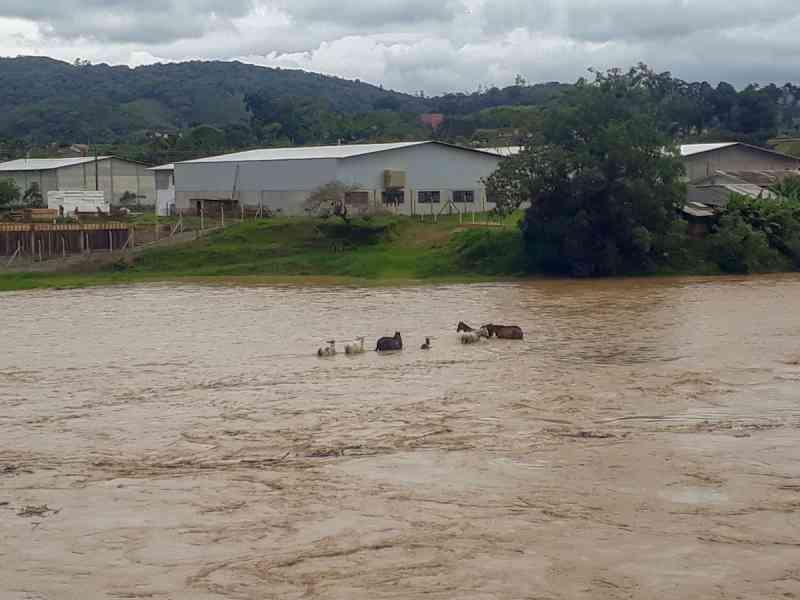 Vídeo: animais são levados pela correnteza do rio Itajaí-Mirim, em Brusque, SC
