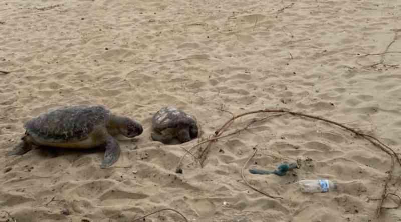 Praias de Penha (SC) registram mortandade de animais marinhos; tartarugas, baleia e golfinho apareceram nos últimos dias
