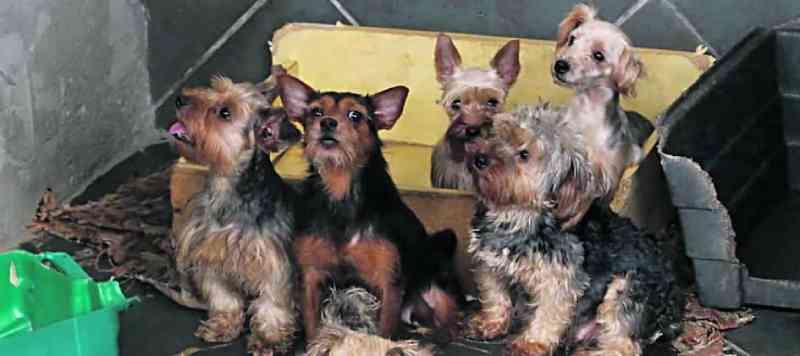Polícia estoura canil clandestino e resgata 44 cães em Diadema, SP